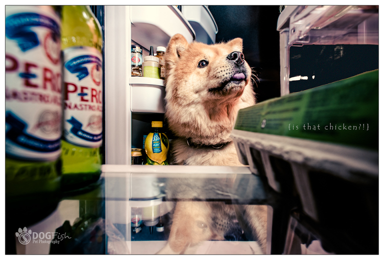Calgary chow chow inspects a fridge