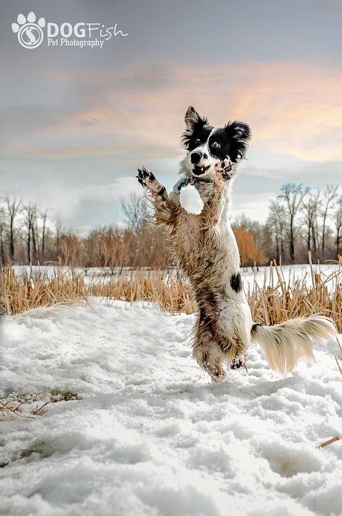 A border collie having fun in the snow