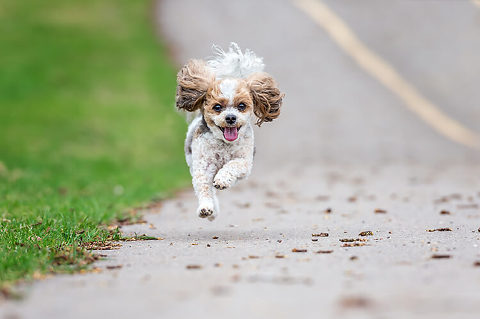 Running with joy, a Yorkie/Shi-tzu/Bichon dog portrait by pet photographer in Calgary, Okotoks, Bragg Creek