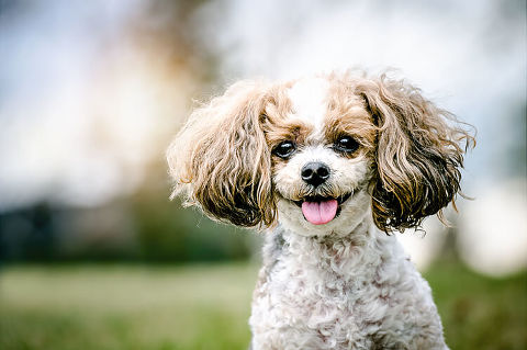 Happy Yorkie/Bichon/Shi-tzu dog portrait by pet photographer in Calgary, Okotoks, Bragg Creek