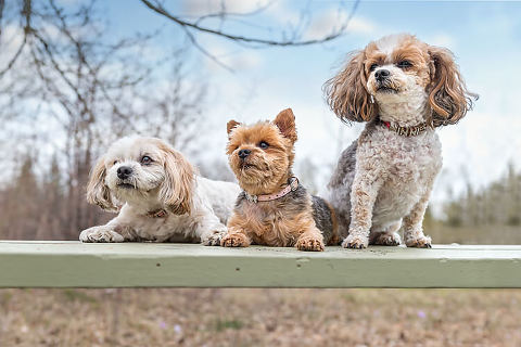 Sweet yorkie/bichon/shi-tzu dog portraits by Calgary dog photographer