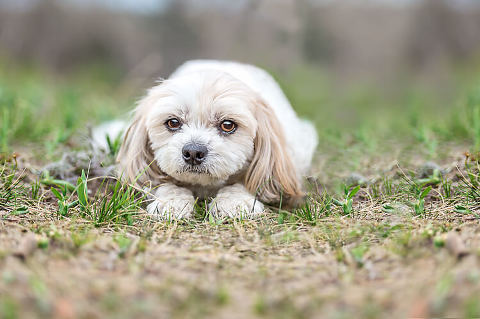 Bichon-shi-tzu dog photographer in Calgary