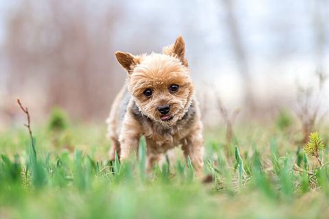 Yorkie pet photographer in Calgary